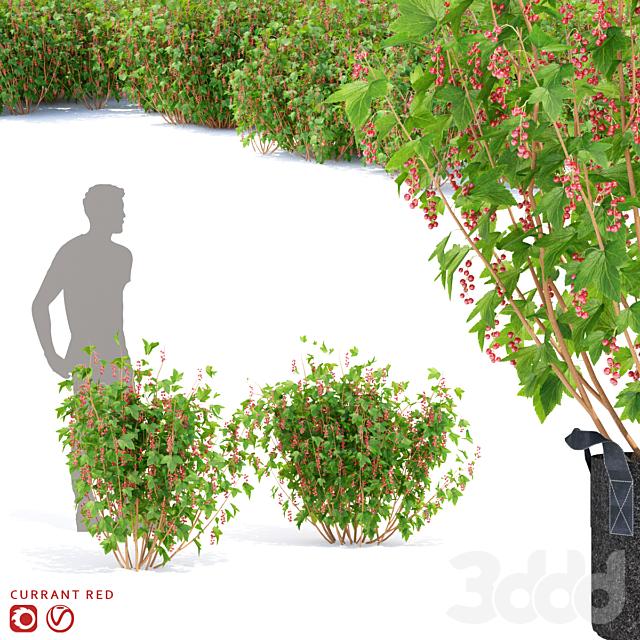 Смородина красная кусты
