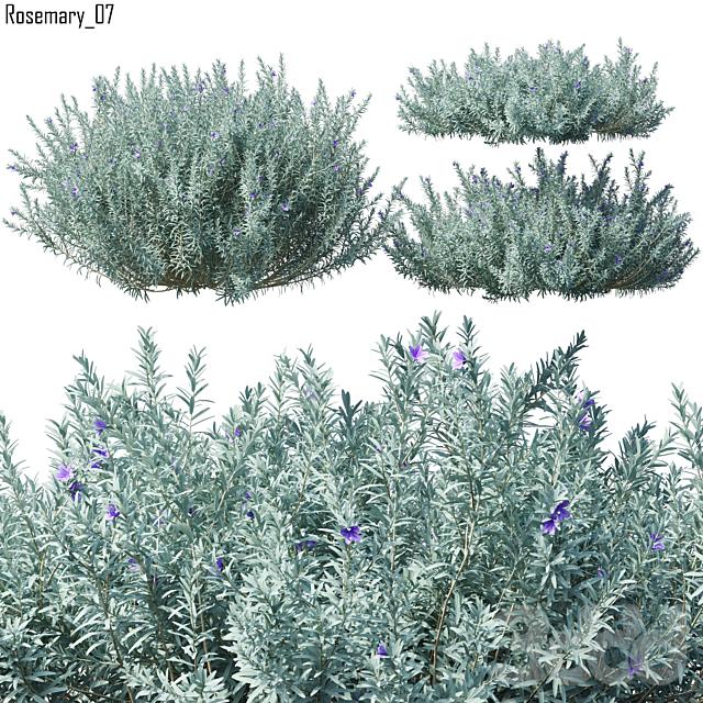 Rosmarinus   Rosemary # 7 (3 Model)