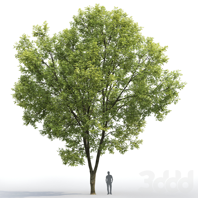 Ясень | Ash-tree #7 (15.5m)