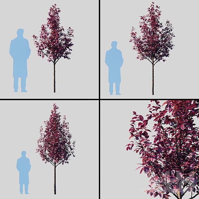Слива растопыренная Писсарди/Prunus Cerasifera Pissardii