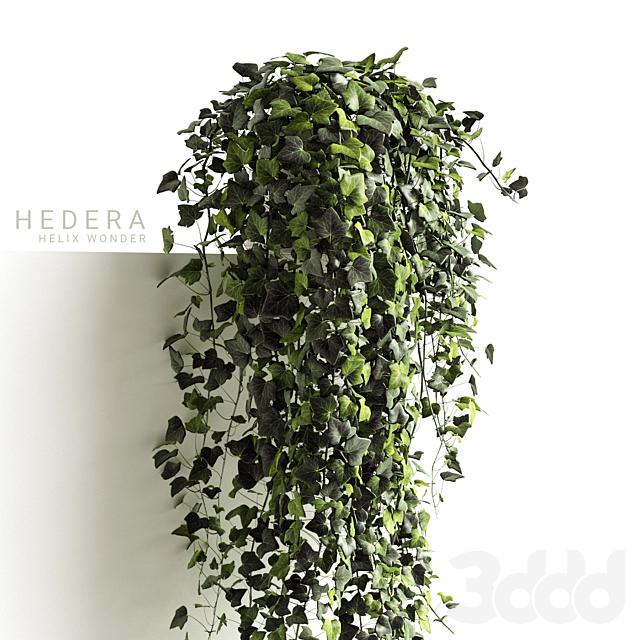 Hedera Helix wonder long