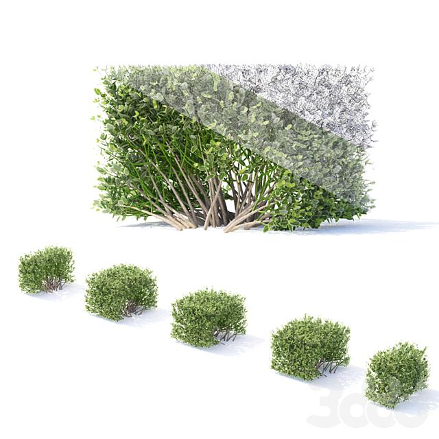 Бересклет Форчуна. Живая изгородь | Euonymus fortunei #2
