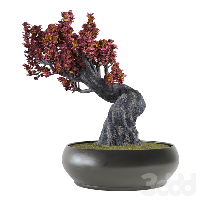 Decor japanese maple