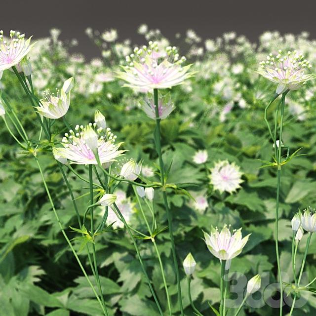 Астранция большая цветы | Astrantia major