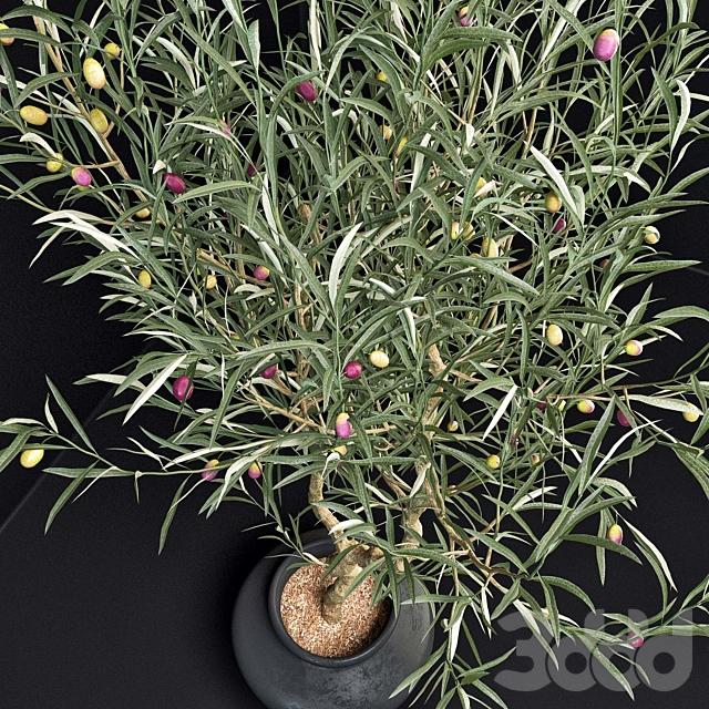 Оливковые деревья (Olive Tree)