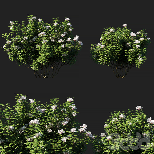 Rhododendron ponticum 01