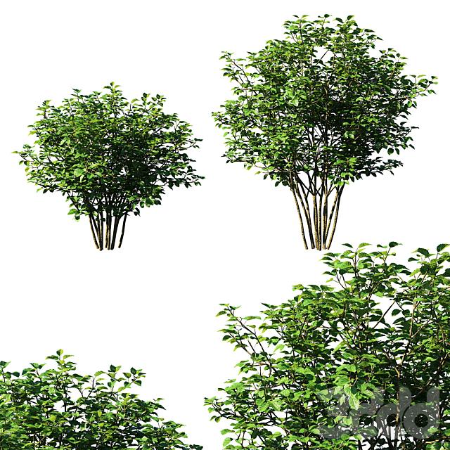 Viburnum dentatum tree 01
