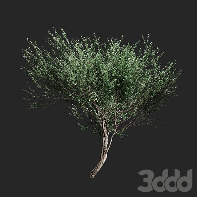 Набор оливковых деревьев v2. 4 модели