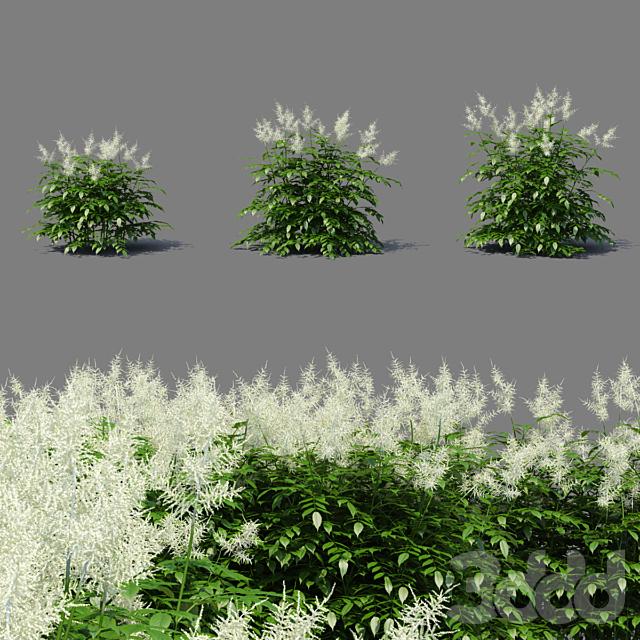 Волжанка обыкновенная цветы | Aruncus dioicus