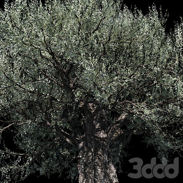 Олива европейская