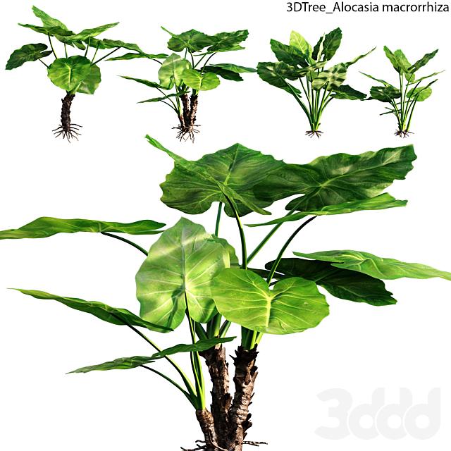 Alocasia macrorrhiza 01