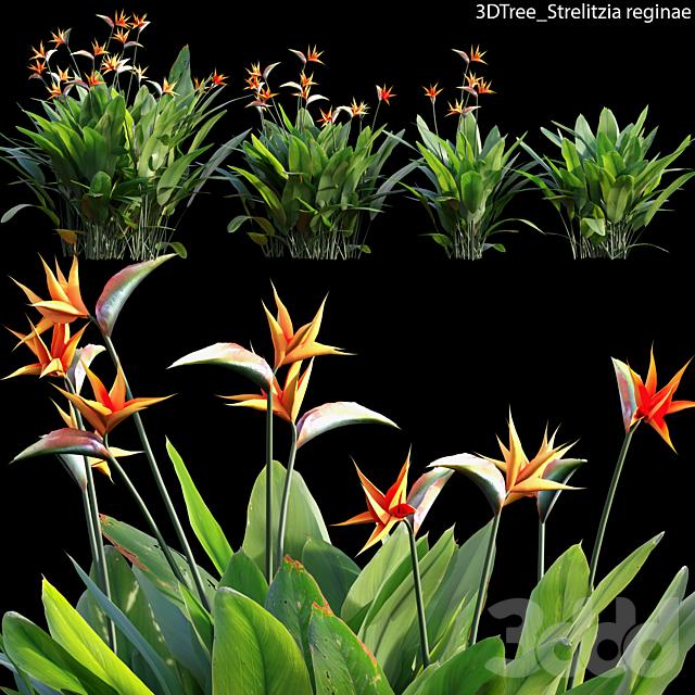 Strelitzia reginae 02