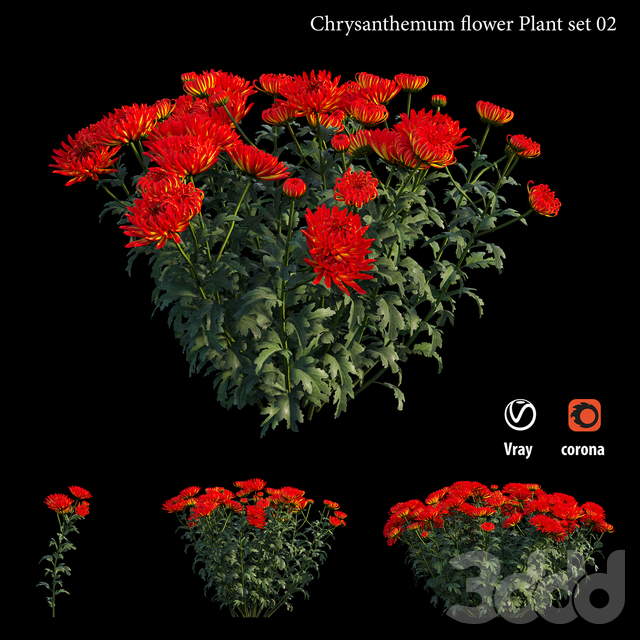 Chrysanthemum flower Plant set 02