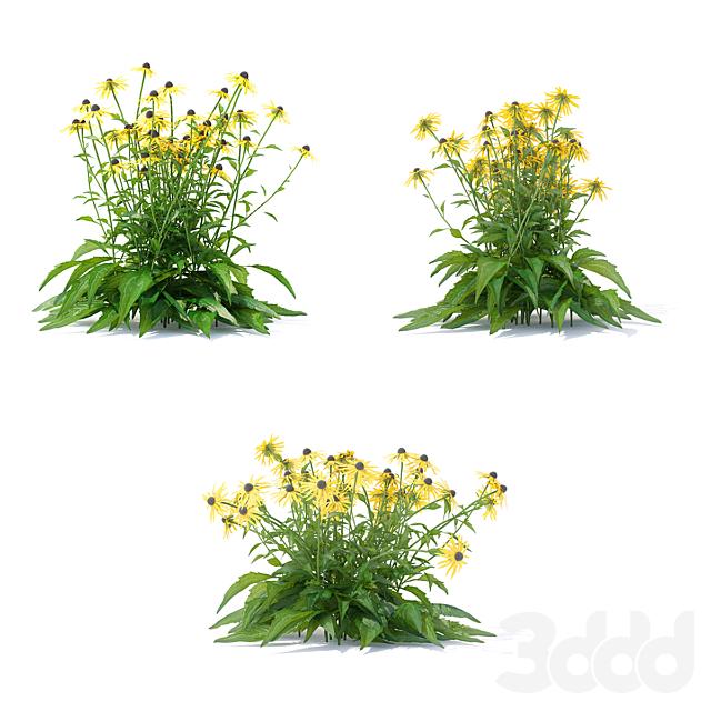 Рудбекия блестящая цветы   Rudbeckia fulgida