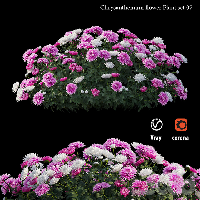 Chrysanthemum flower Plant set 07