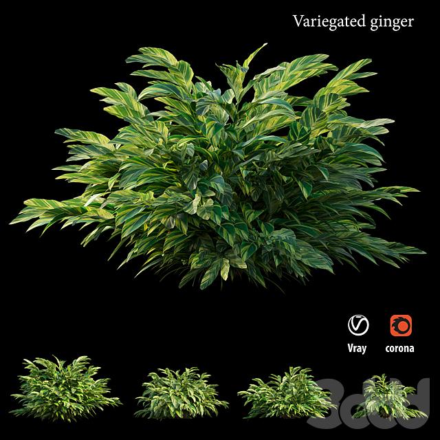 Variegated ginger