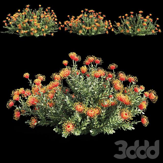 Leucospermum cordifolium