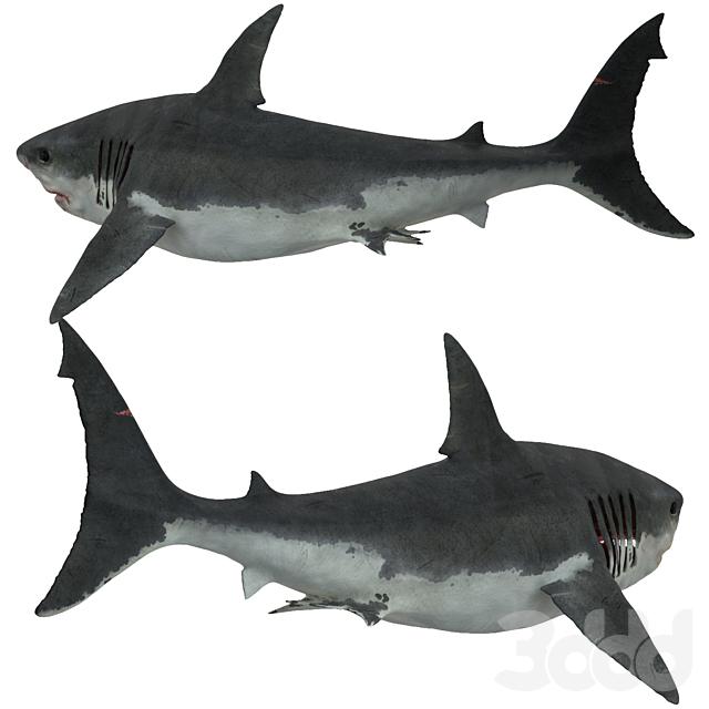 Белая акула (Carcharodon carcharias)
